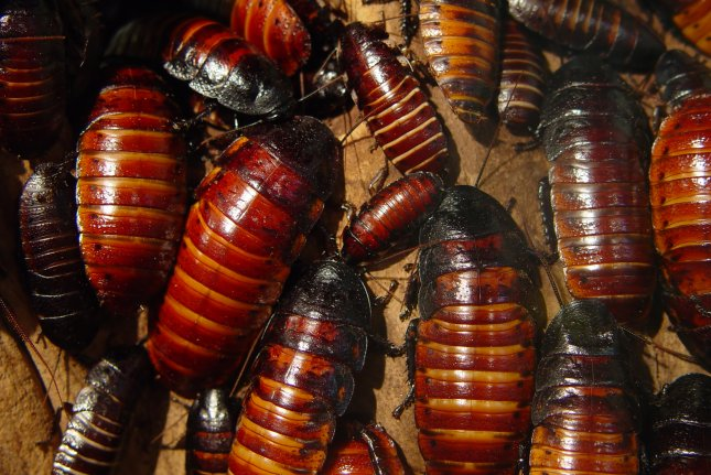 Madagascar hissing cockroaches. Photo by Sleepy Weasel Entertainment/Shutterstock