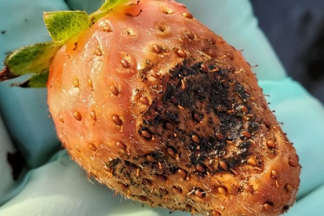 A strawberry shows damage this month from an aggressive new strain of pestalotiopsis fungus at a farm east of Tampa, Fla. Photo courtesy of the University of Florida