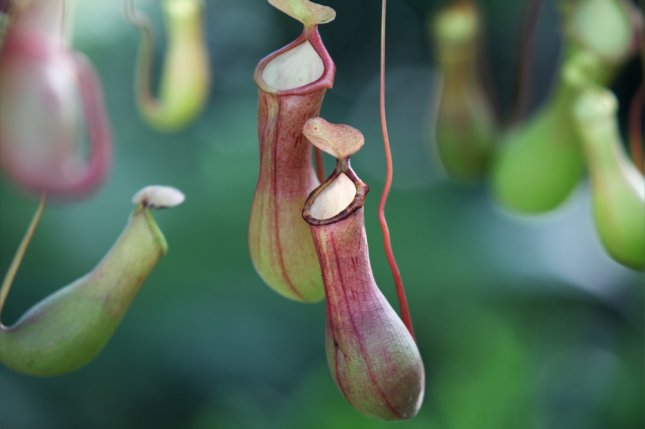 A carnivorous pitcher plant. Photo by sakhorn/Shutterstock