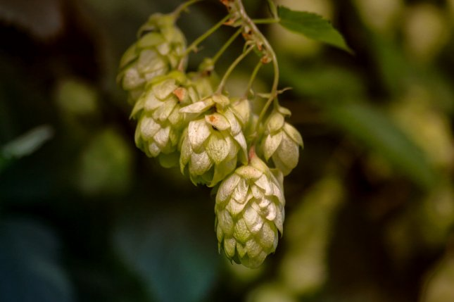 Hop supplements, which contain phytoestrogens and act like female sex hormones, don't interact with other drugs, a new study found. Photo by klickblick/Pixabay