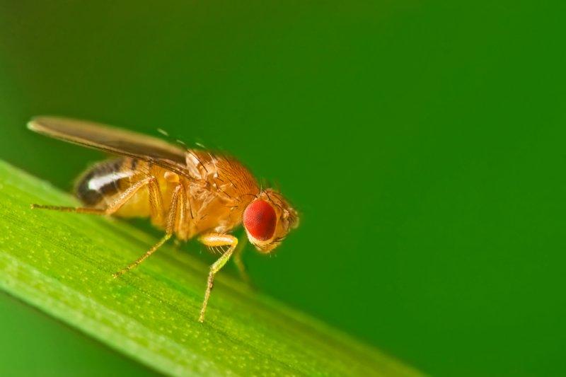 A common fruit fly (Drosophila Melanogaster). Photo by Studiotouch/Shutterstock