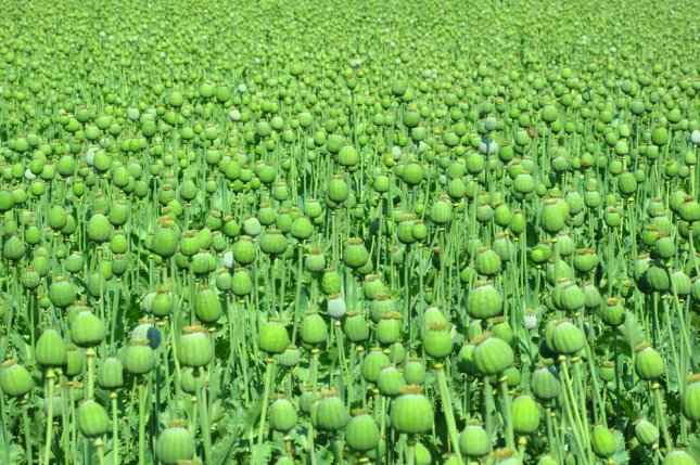 A large field of opium poppy. Photo by Peteri/Shutterstock
