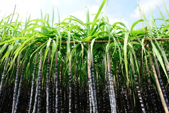 Researchers have developed a jet fuel derived from sugarcane. Photo by lzf/Shutterstock