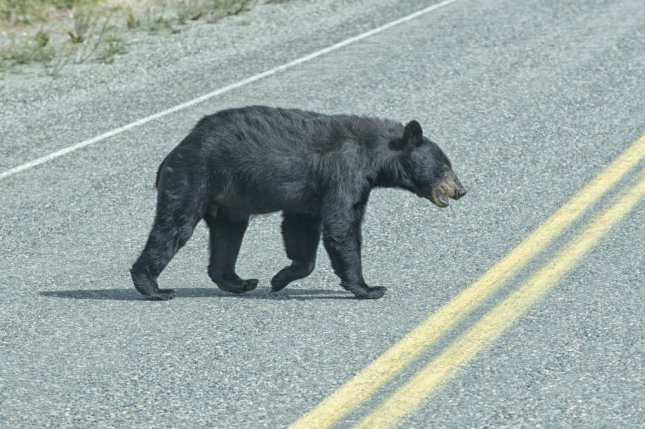 A black bear crosses the road. Photo by Andrea Izzotti/Shutterstock
