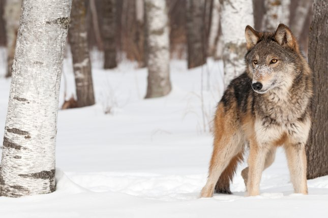 A grey wolf, also known as a timber wolf, among the trees in a snowy wood. (UPI/Shutterstock/Geoffrey Kuchera)