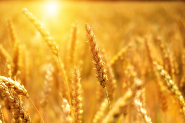 Researchers in Britain say changing one amino acid could help wheat be more resilient to heat. Photo by Bru-nO/Pixabay
