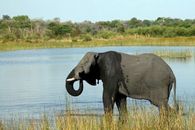 Botswana's government determined that a toxic algae bloom is responsible for the deaths of more than 350 elephants earlier this year. Photo by Gernot Hensel/EPA-EFE