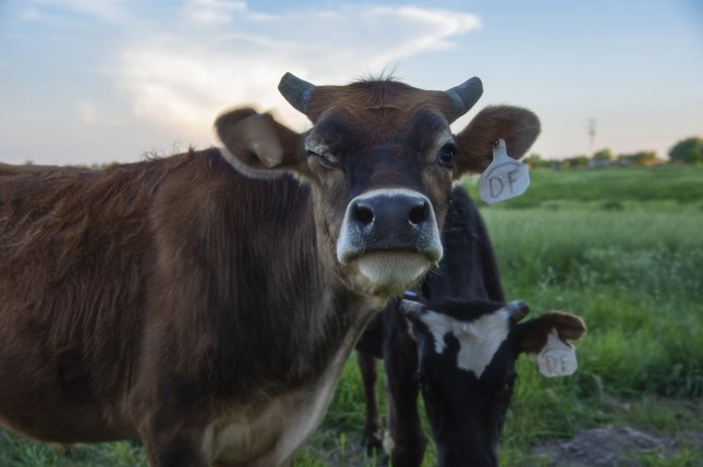 Bacteria in the guts of cattle produce methane as they help the animals breakdown grass and grains -- but seaweed may help reduce the methane cattle expel. Photo sspiehs3/Pixabay