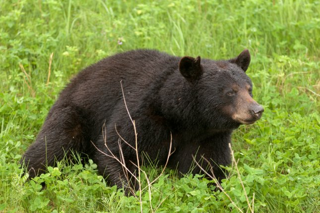 A group of bears surrounded a woman as she was forced to give birth in a Russian forest after becoming stranded during a fishing trip. The woman, who was identified as Aleksandra Matrosova, was able to successfully deliver the baby and both were reportedly in satisfactory condition after the incident. File photo by Pi-Lens/Shutterstock