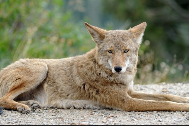 Populations of coyotes are reduced in areas of the United States where wolves have rebounded, researchers are finding. File Photo by Aspen Photo/Shutterstock