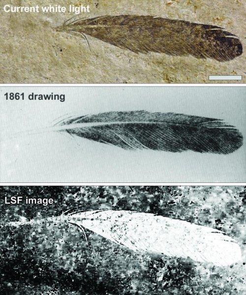 The isolated Archaeopteryx feather is the first fossil feather ever discovered. Photo by University of Hong Kong