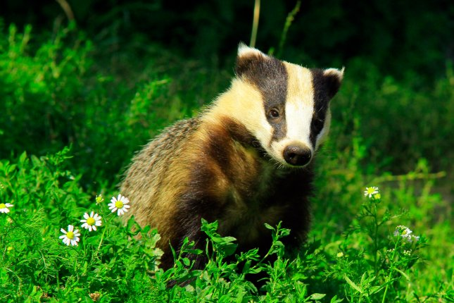 Badgers that fight when they're young tend to age more quickly later in life. Photo by Ian Rentoul/Shutterstock