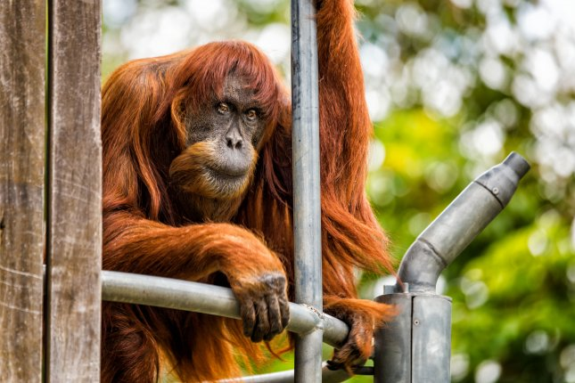 Puan, world's oldest orangutan, dead at 62