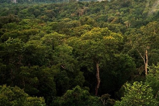 Ecologists consider dung beetles an important indicator species, and the health of local dung beetle populations can be used to gauge the health of an ecosystem. Pictured, a view of the Amazon basin forest north of Manaus, Brazil. Photo by Phil P. Harris/Wikimedia