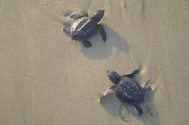 New research suggests the trait responsible for the dark-colored pigmentation of sea turtle hatchlings evolved at least 54 million years ago. Photo by National Park Service/U.S. Department of the Interior/Facebook