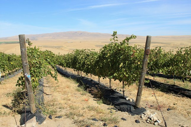 Crops in places dependent on snowmelt for water irrigation, such as grapes grown in Yakima, Wash., will be subject to more droughts due to climate change, researchers said Friday. File photo courtesy of Washington State University