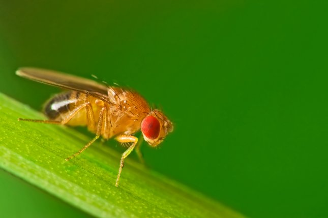 Researchers showed certain bacteria strains in the guts of the common fruit fly can alter the insect's dietary wants and needs. Photo by Studiotouch/Shutterstock