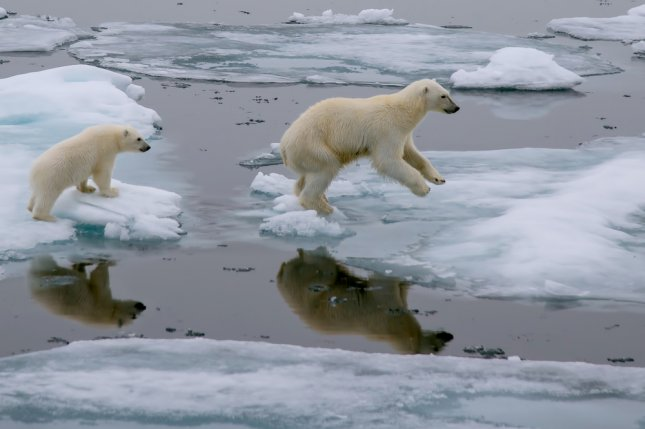 A mother polar bear and cub jump across ice floes in the Arctic Ocean north of Svalbard, Norway. Photo by FloridaStock/Shutterstock