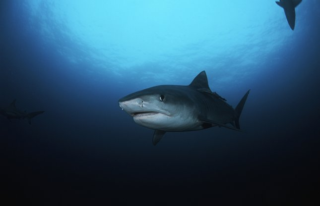 A Minnesota man vacationing in Hawaii said he escaped a shark attack recently by punching a 14-foot tiger shark in the back on the advice of his wife. Photo by BikeRiderLondon/Shutterstock