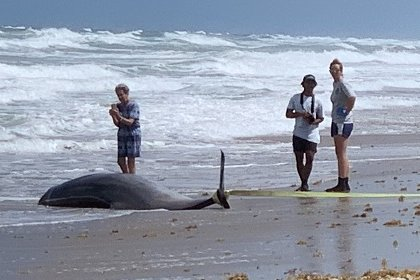 A Gervais' beaked whale, stranded in St. Lucie County, Fla.,  in 2019, was part of a study that examined tissue from stranded dolphins and whales for toxins. Photo courtesy of Annie Page-Karjian/Harbor Branch Oceanographic Institute