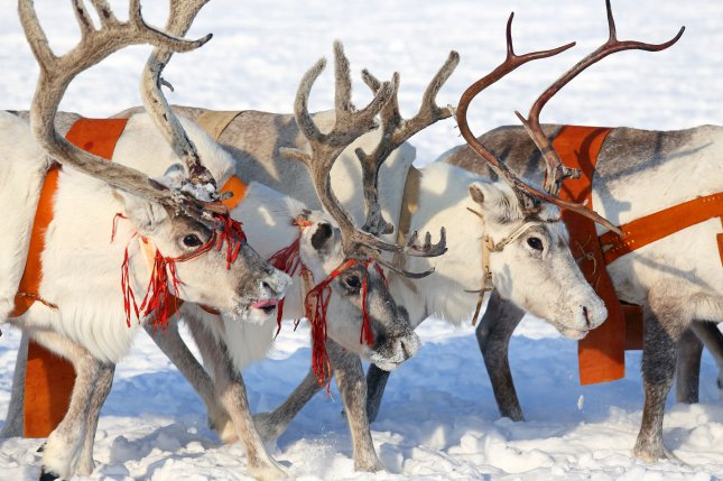 Domesticated reindeer in Siberia. (UPI/Shutterstock/Grigorii Pisotsckii)