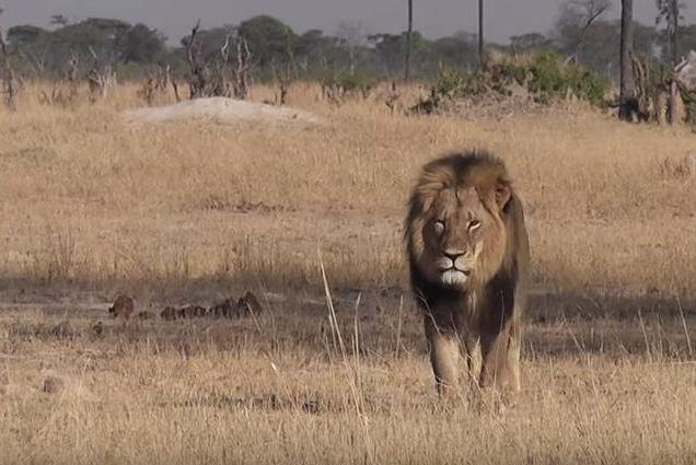 Poaching, hunting and habitat loss remain threats to the planet's largest predators, but new research shows the common threat is the global depletion of prey. Screenshot courtesy of Bryan Orford/YouTube
