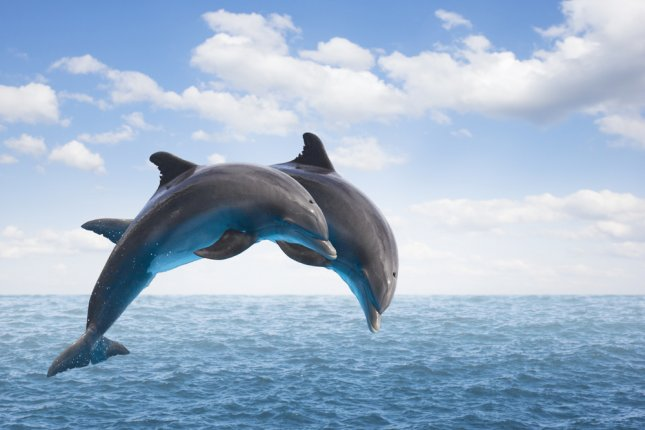 A pair of bottlenose dolphins jump out of the ocean. New research showed dolphins can coordinate their actions to complete teamwork tasks. Photo by UPI/Shutterstock/Neirfy