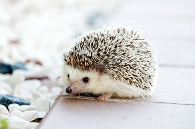 Officials at the CDC are warning people with pet hedgehogs not to snuggle them because of a concern for spreading salmonella. Photo by amayaequizabal/Pixabay