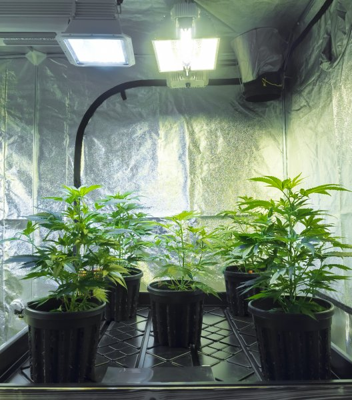 An indoor marijuana growing operation. Photo by Mr. Green/Shutterstock.com