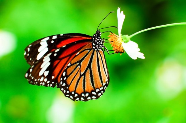 A thicker, smaller wing is key to a female monarch butterfly's flying abilities. Photo by anuphadit/Shutterstock