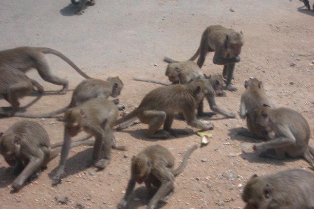 Rhesus Macaques are seen feeding in Khao No-Khao Kaeo, Nakhon Sawan, Thailand. Photo by Randy Everette/Wikimedia