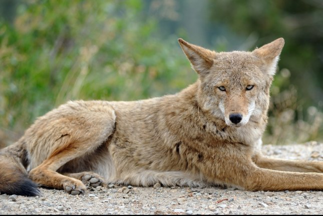Dog species, such as coyotes, evolved to adapt to a changing climate and landscape. Photo by Aspen Photo/Shutterstock