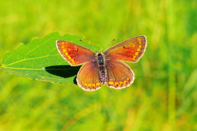 Researchers say the brown argus butterfly is among species that could use more shade to better cope with climate change. Photo by krzysztofniewolny/Pixabay