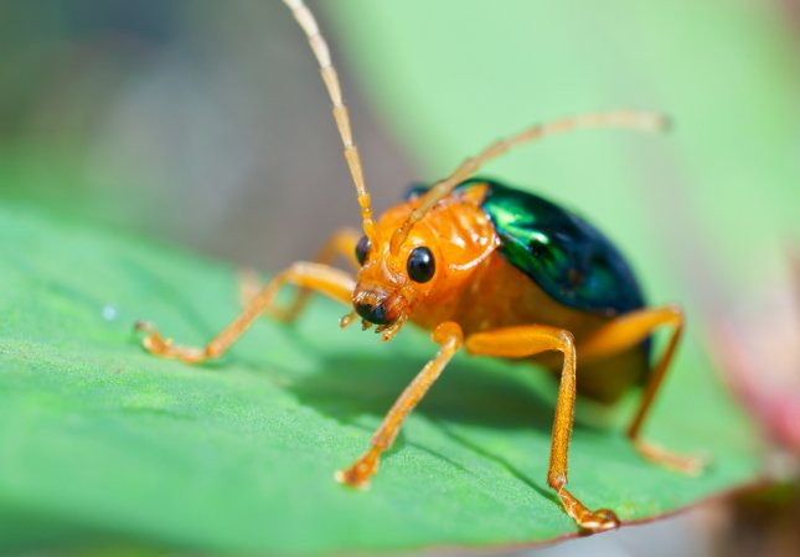 Bombardier beetle (Brachinus alternans). Photo by johannviloria/Shutterstock