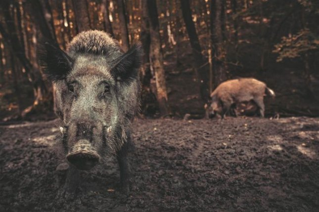 Researchers compared wild pigs to tractors because of the amount of land they can overturn on their search for food -- a search that a new study says releases more carbon dioxide into the atmosphere than a million cars. Photo courtesy of University of Queensland