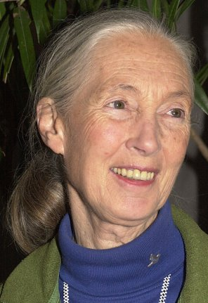Primatologist Jane Goodall work with chimpanzees made into a film Chimpanzee Jane