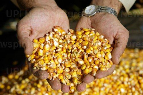 Corn harvest in Iran