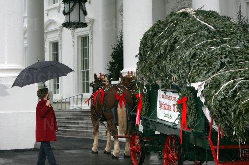 The White House Christmas Tree arrives in Washington