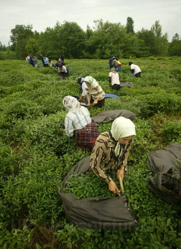 TEA PICKING AND PRODUCTION REACHES SPRING PEAK IN IRAN